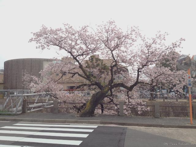 桜の写真13 / 鍼灸院 一鍼堂