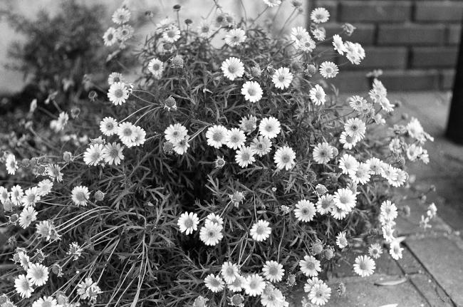 陰谷 / LeicaMP+ summarit50mmf1.5 , Tri-x