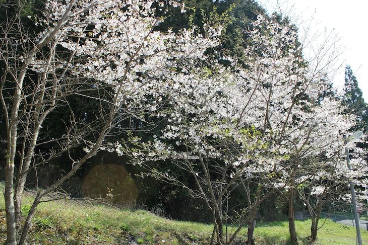 桜(4月初 大阪某所にて)