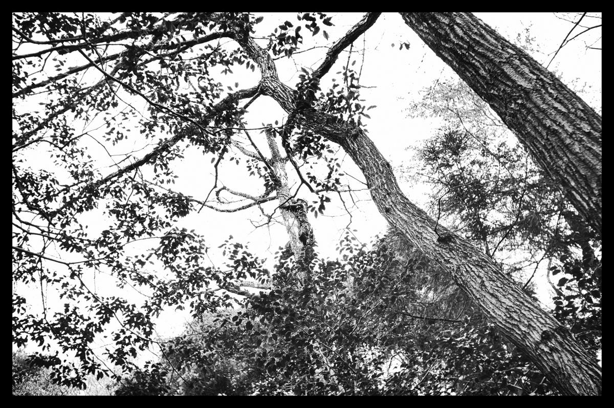男と赤松 / Leica M-Monochrome+ Elmar