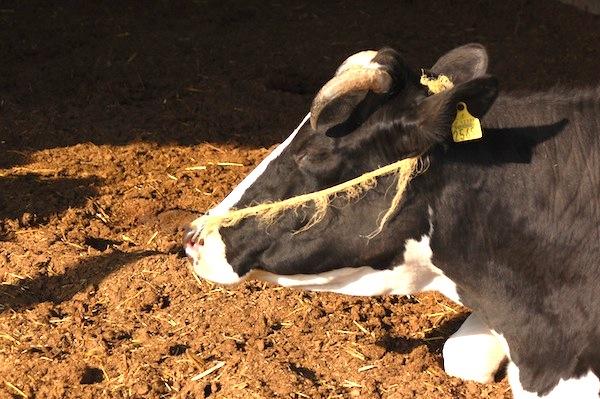 兵庫県三木市の牛