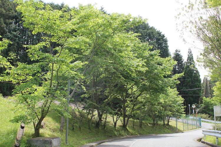 葉桜 (5月初旬 大阪の山中にて)