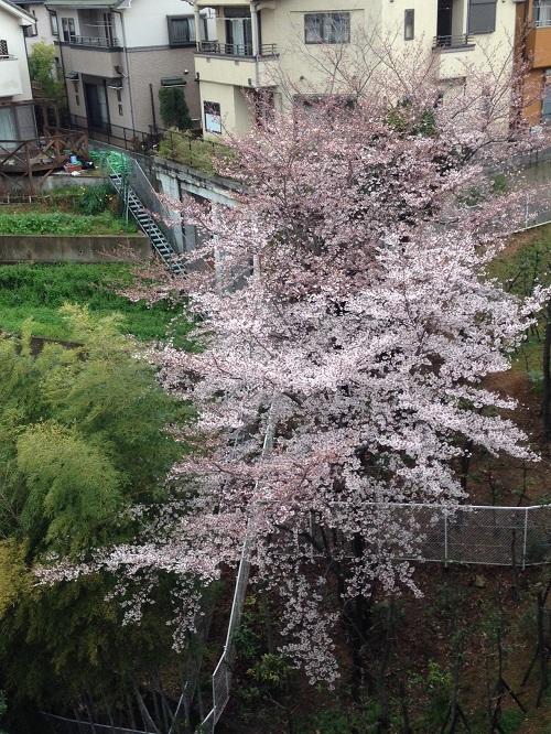 マンションから見える桜
