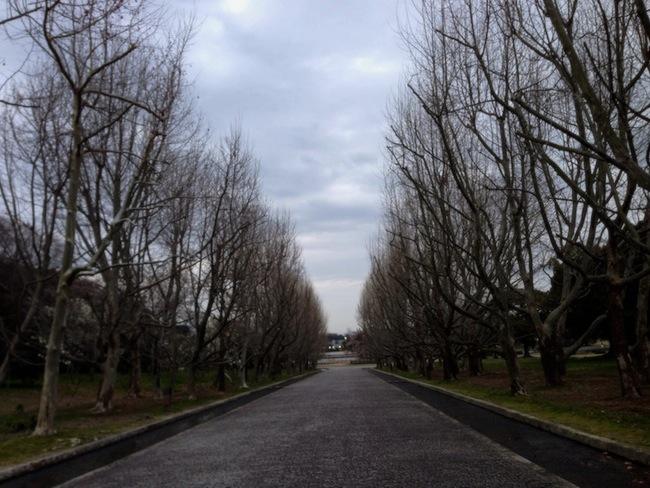 プラタナスの並木道 / 万博記念公園