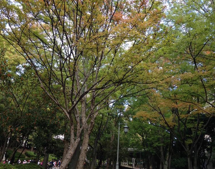 紅葉の葉も色づいてきました(10月中旬 緑地公園へ向かう歩道にて)
