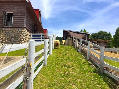 牧場 羊の通路