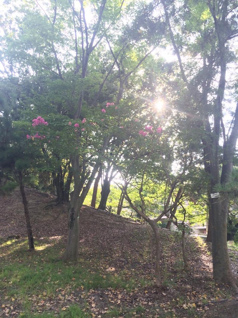 サルスベリ(家の近くの公園)