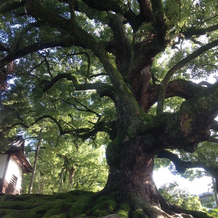 大きな立派な木ですね!