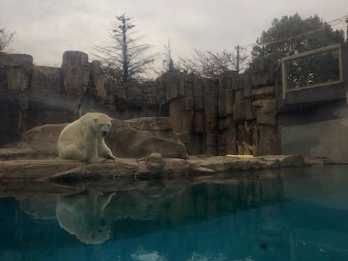 シロクマ 王子動物園にて