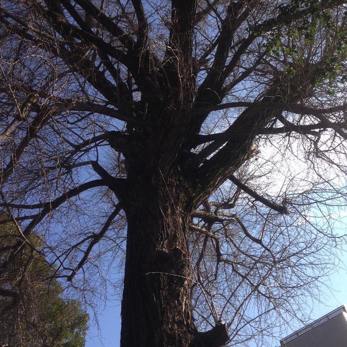 冬のイチョウの木です。今年はどのように葉をつけるのでしょう。