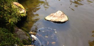 涼しげに池を泳ぐ鯉