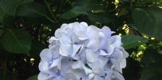 涼しげな紫陽花(あじさい)