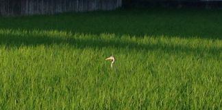 田んぼに鳥が隠れていました