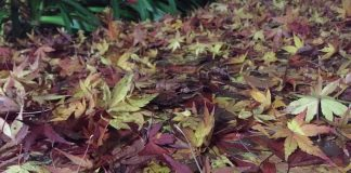 落ち葉の絨毯 自宅近くにて