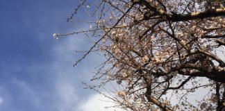 近所の桜が咲き始めました