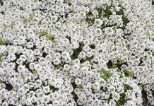 アリッサムという名前のお花です。