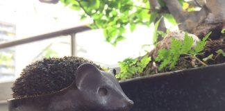 玄関先のはりねずみの苔玉