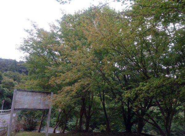 10月中旬の紅葉の木です。これから紅くそまっていきますね。