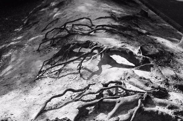 むき出しの木の根