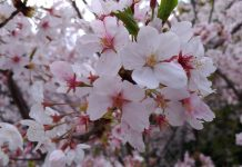 桜(数年前のものですが)