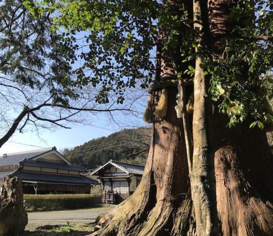 とある田舎にて。この辺りの土地は、この大きなご神木に守られているようです。