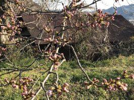 今年は東京から西に向かって桜が開花していっているようですね。