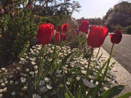 通路沿いの花壇にあるチューリップ