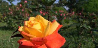 緑地公園円形花壇のバラ