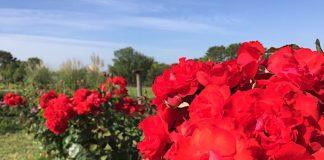 真っ赤なバラ 緑地公園円形花壇にて