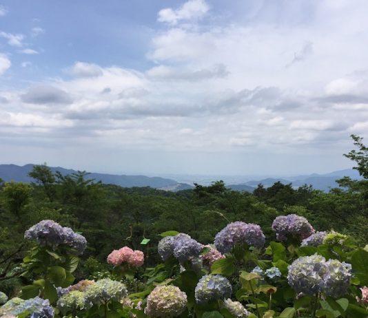 山上に咲くアジサイ