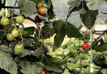 歩いていると、道端の畑のトマトの実が綺麗で見入ってしまいました。
