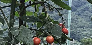 収穫間近のトマト。 周辺の山の緑もきれいですが、この山の緑が蒼に近い色なのかも知れません。