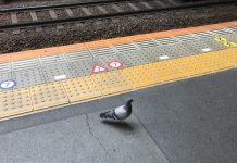 駅のホームに鳩が迷い込んできました