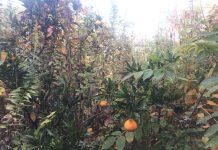 自宅裏の果樹畑