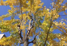 ご近所の銀杏の木