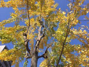 豊中院近くの銀杏の木