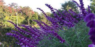 緑地公園 紫のサルビア