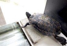 ミシシッピアカミミガメ(橿原市昆虫館にて)