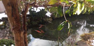 池の中で泳ぐ鯉