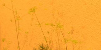 アスパラガスの新芽がきれいです。線香花火みたい