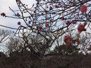 緑地公園 梅の花が咲き始めました