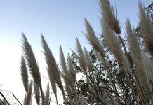 緑地公園 風になびくパンパスグラス