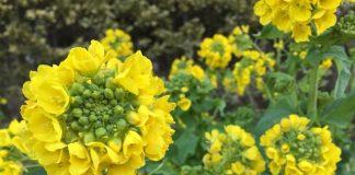 緑地公園の菜の花