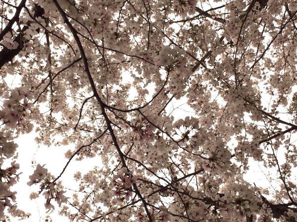 緑地公園の桜。先週の日曜日の雨の日。やはり少し散ってしまいました。