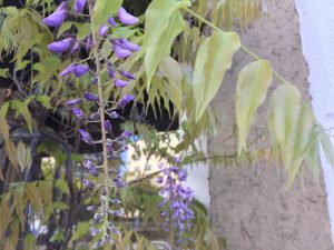 フジの花 ①
