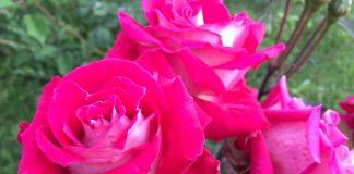 緑地公園 アメリカのバラ 品種名:ラブ