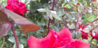 緑地公園のバラ イングリッドバーグマン