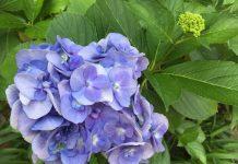 近所の紫陽花
