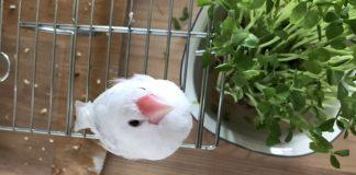 こんにちは、文鳥です